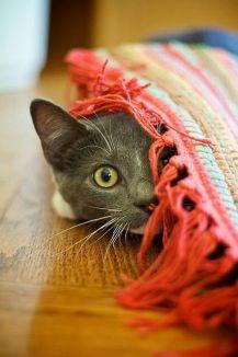 Imagen llamativa para redes sociales-gato con manta roja